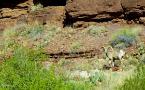 Green-River-Day-3.3-Bighorn-Sheep