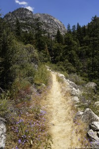 Grand Canyon Tuolumne Trail Wildflowers Yosemite